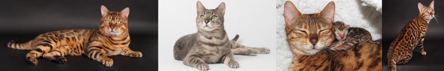 Chatterie La Colo Cat